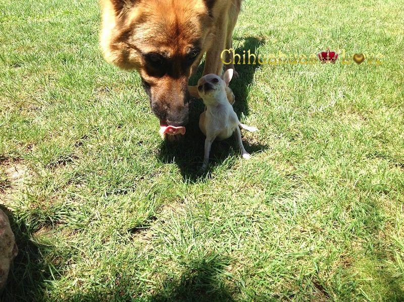 chihuahuas y otros perros