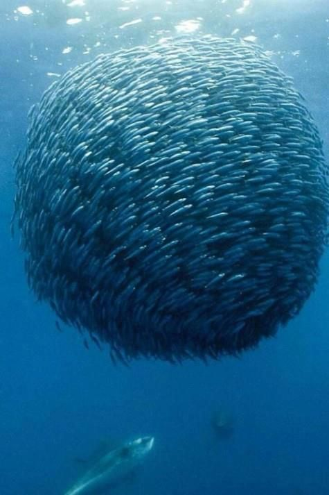 Mackerel Ball !!    Screen capture from the nature documentary 'Oceans' released in 2009