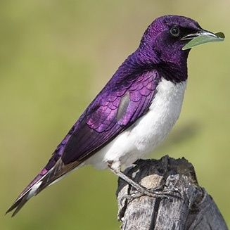 Violet-backed starling male by wood
