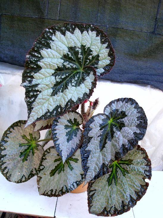 Fotos De Nuestras Begonias Identificadas Con Imagenes Plantas
