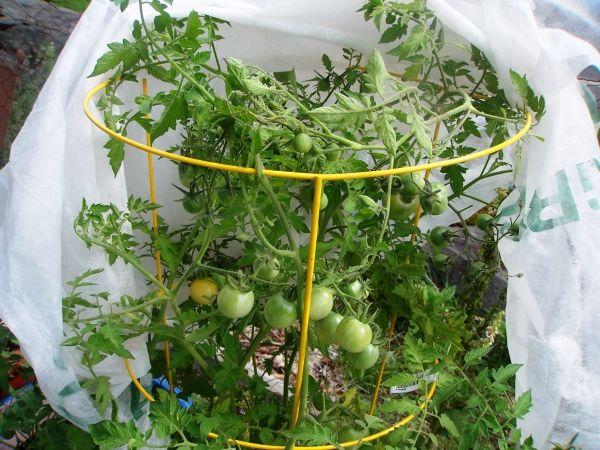 planter des tomates cerises plantes dans un cylindre ...