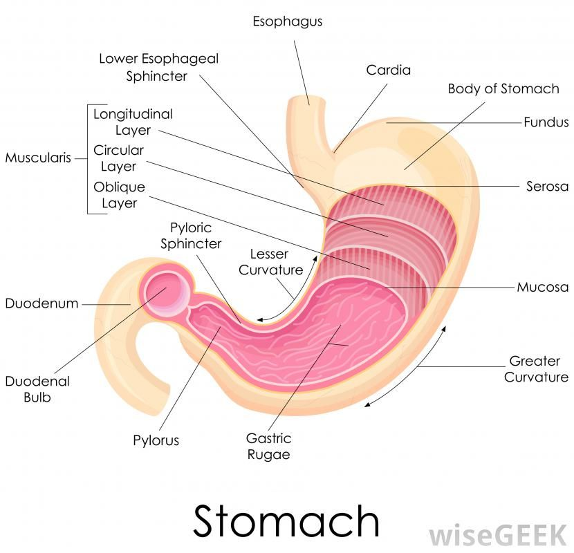 Digestive Anatomy Digestive System Anatomy Stomach Diagram Human Anatomy And Physiology