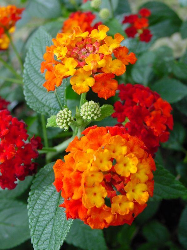 Lantana Latinski Naziv Lantana Camara Je Biljka Koja Pripada Porodici Beautiful Flowers Wallpapers Flowers Beautiful Flowers