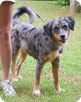Catahoula Leopard Dog Australian Shepherd Mix Catahoula Leopard