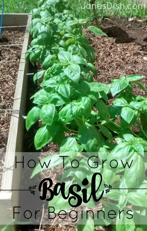 How To Grow Basil (Zone 9   Central Florida