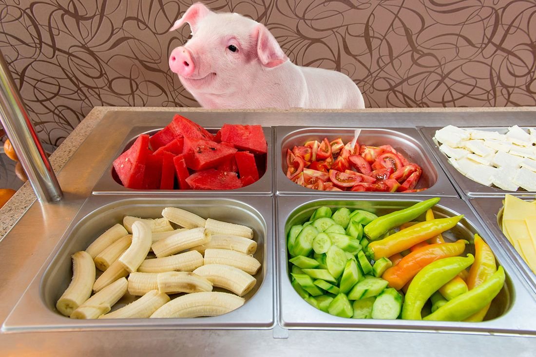 Pin By Amy Hernandez On Pig Nutrition In 2021 Pot Belly Pig Food Pigs Eating Pig Diet