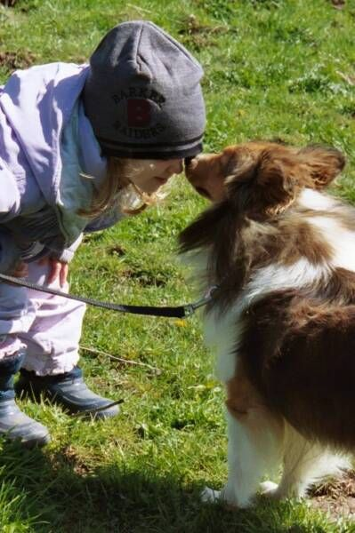 Atwater Sheltie Blessings Shetland Sheepdog Puppies Ny