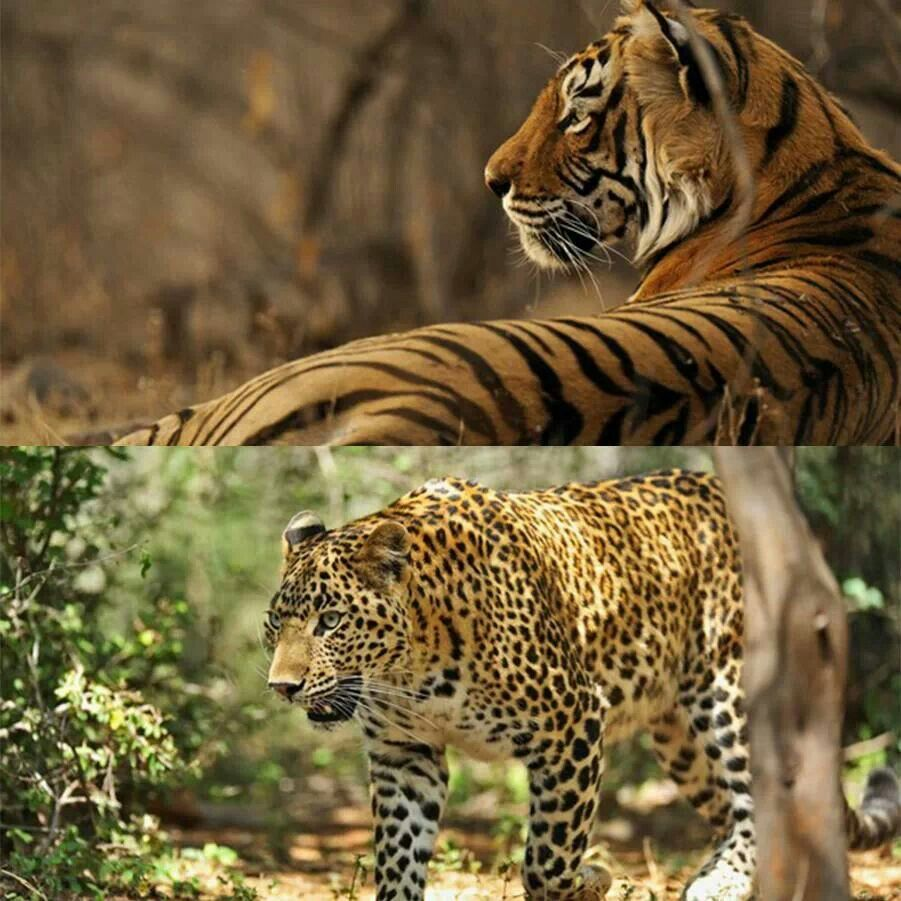 Pin by Mindy Elomari on Unsorted Big cats, Feline, Animals
