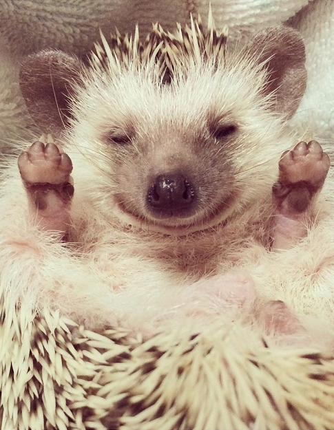 Raising Pets At Home Is A Good Habit Because Small Pets Can Bring Happiness To Everyone Increase Life Interest And Improve People S Life Span Hedgehog Is A V In 2020