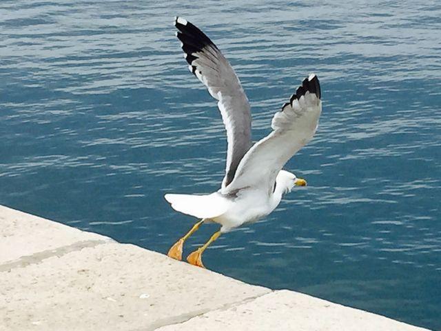 Seagull ready to take off (Rovinj, Croatia)
