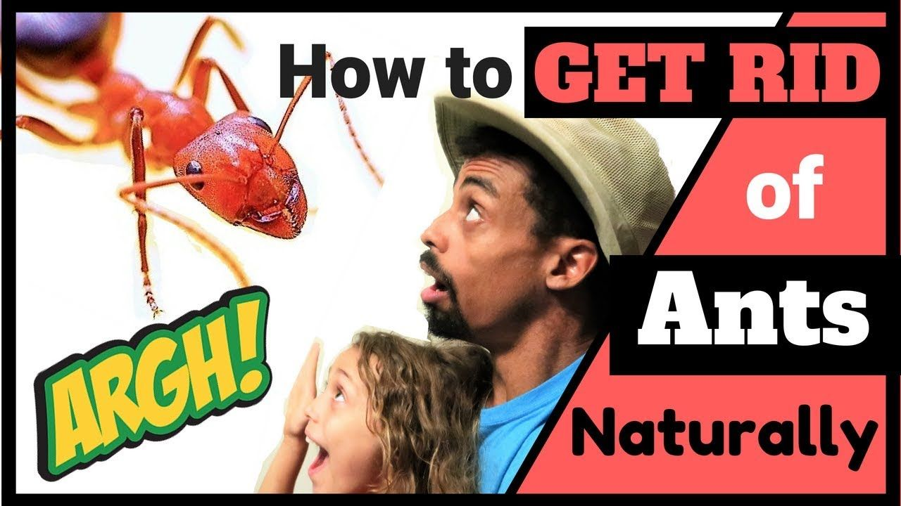 How to get rid of ants naturally rid of ants get rid