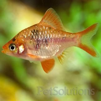 Marble Tiger Barb Barbs For Aquariums Petsolutions Aquarium Fish Freshwater Fish Tropical Freshwater Fish
