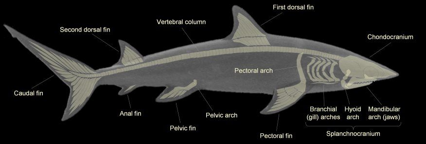 Shark Skeleton Anatomy | SHARK TERMINOLOGY | Tattoos | Pinterest ...