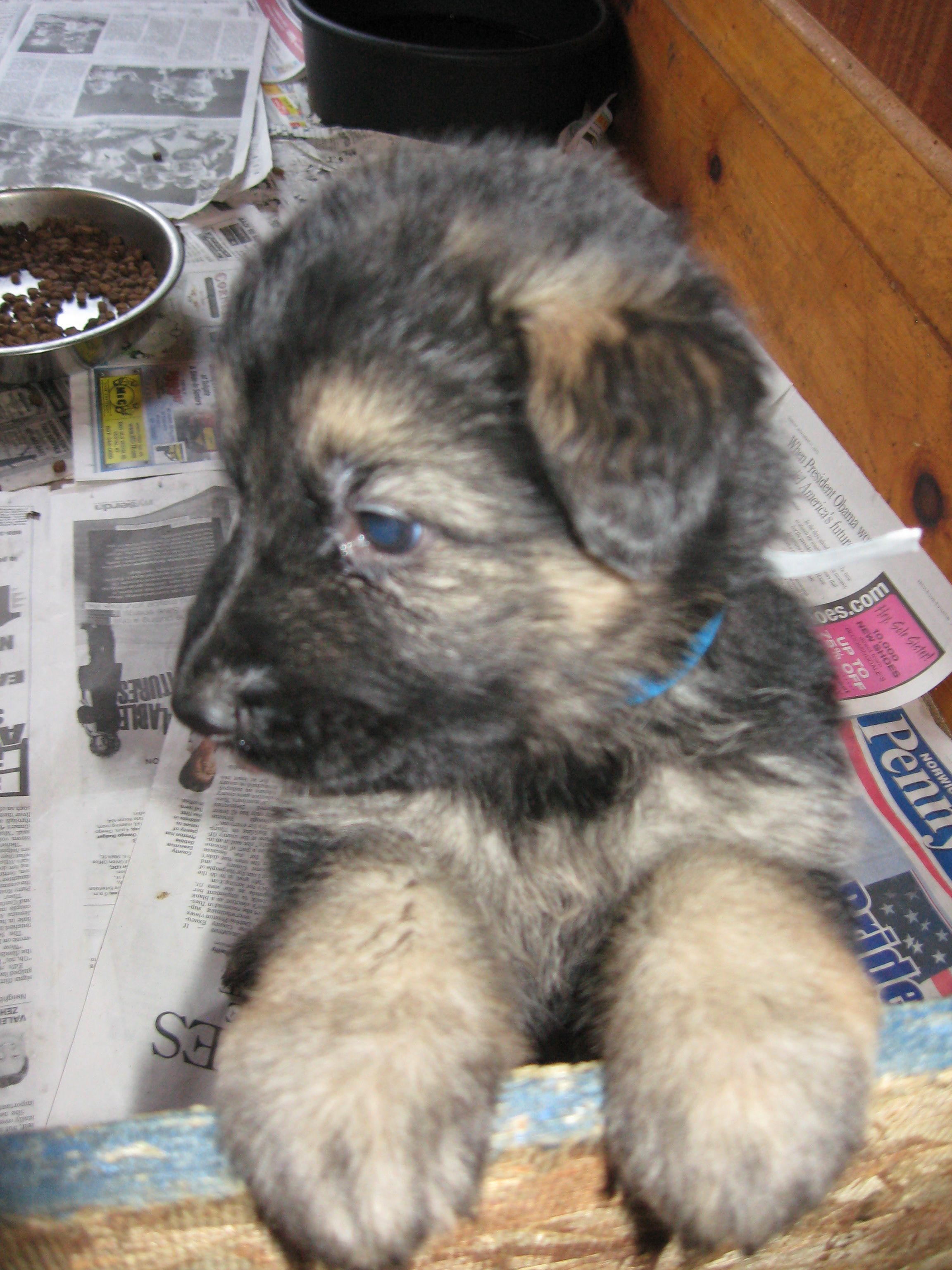 This Is Our 5 Week Old Long Hair German Shepherd Puppy Gretchen