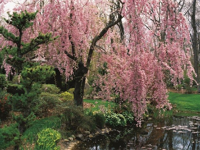 Learn About Flowering Cherry Trees Including Which Varieties Are Best For Residential Gardens And Tree Garden Design Flowering Cherry Tree Willow Trees Garden