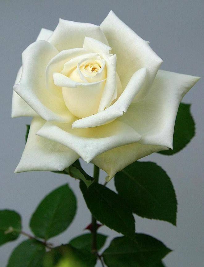 Rosa Blanca Rosa Blanca Flores Rosadas Flores Y Rosas Blancas