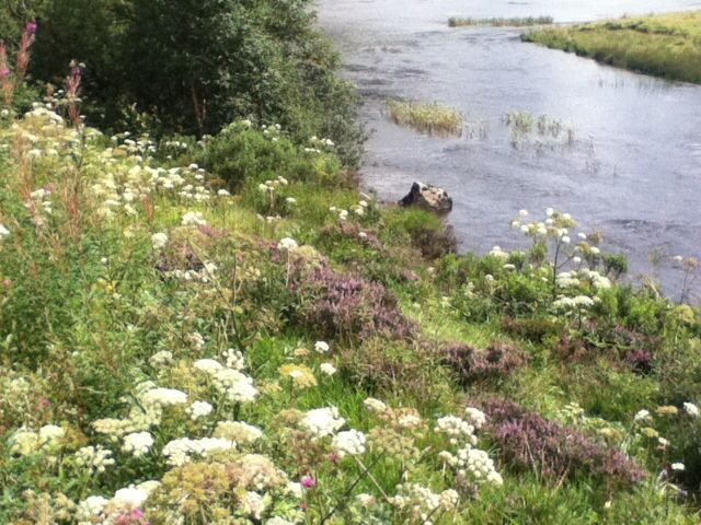 Wild flowers along a stream in the Highlands.