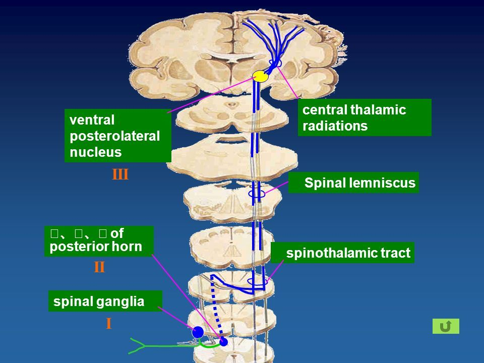 Image Result For Ventral Posterolateral Nucleus Neuro Anatomy