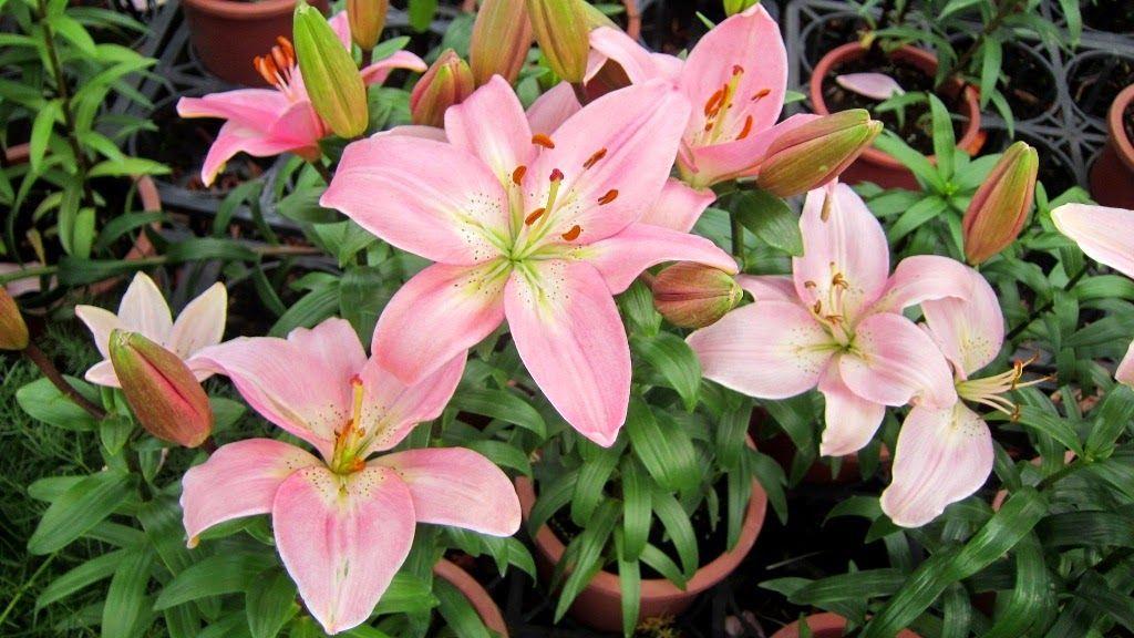 Açucena - A flor da altivez e elegância | Bulb flowers
