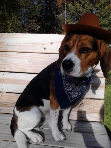 Cowboy Cooper Beagle With Images Beagle Cowboy Cowboy Hats