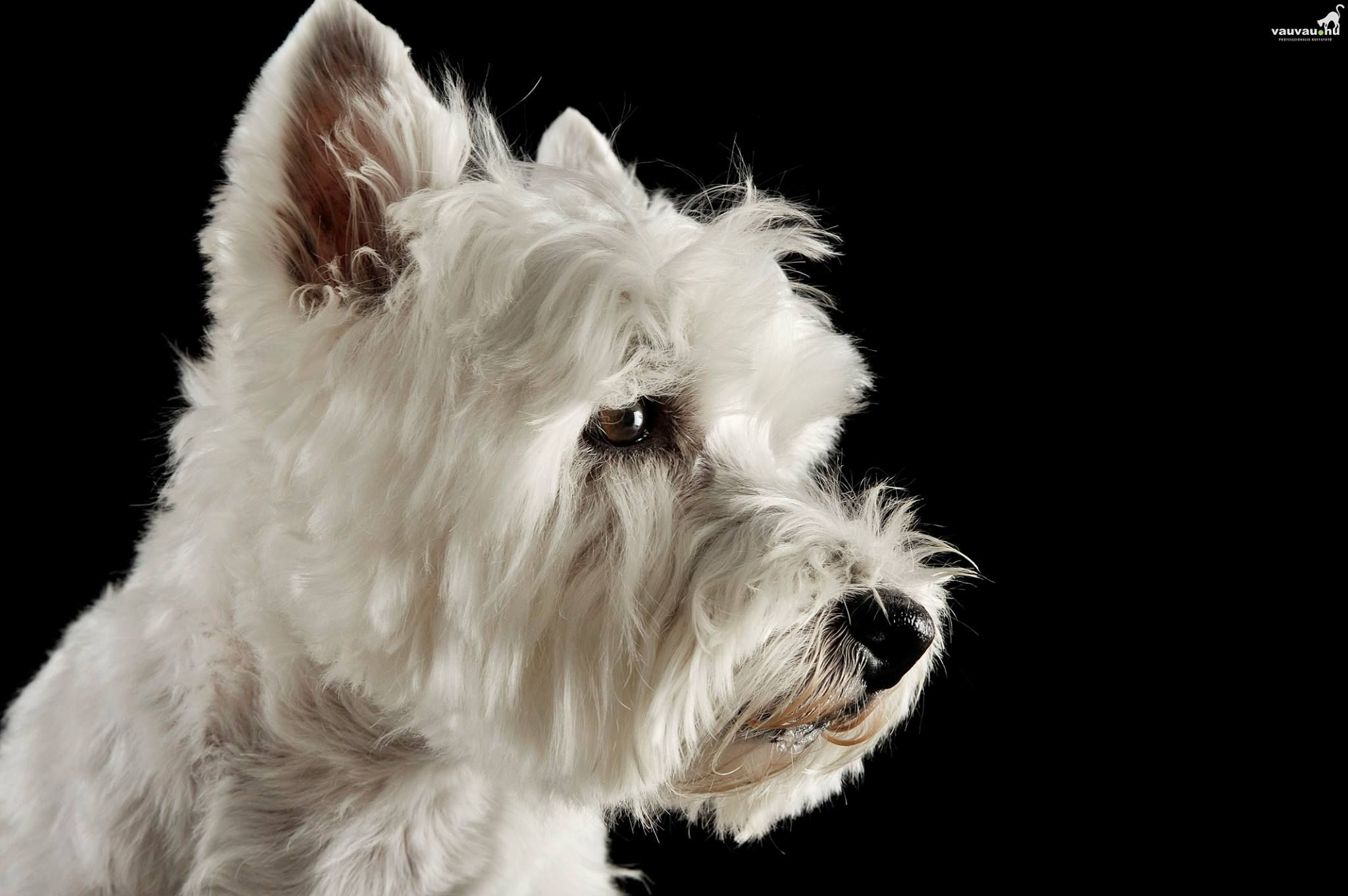 Wrangler is an adoptable West Highland White Terrier