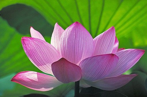 Buddhist Symbols Lotus Flower Google Search Lotus Lotus
