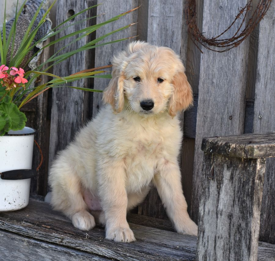 Hello!! 😀👋 ️ I am an Adorable and Cute Goldendoodle. I