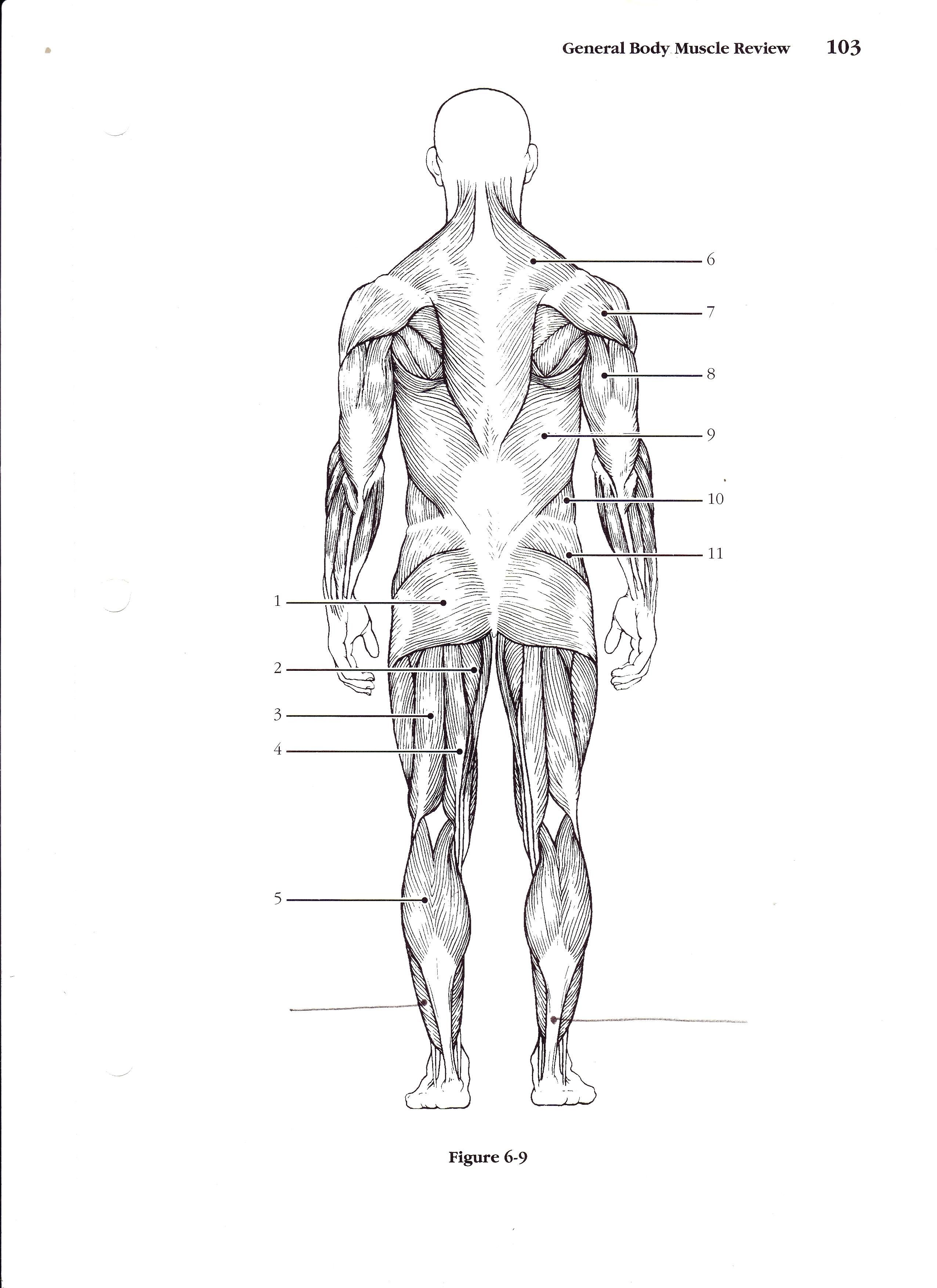 Muscular System Without Labels