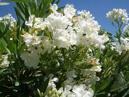 laurier fleur