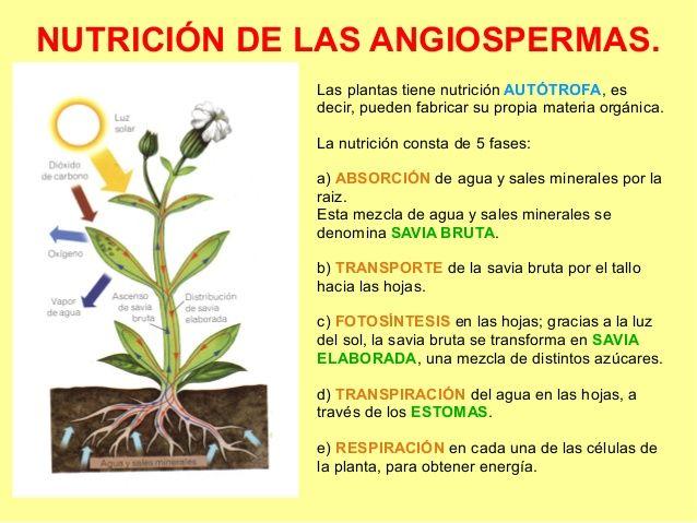 Nutricion Das Anxioespermas Plants The Originals