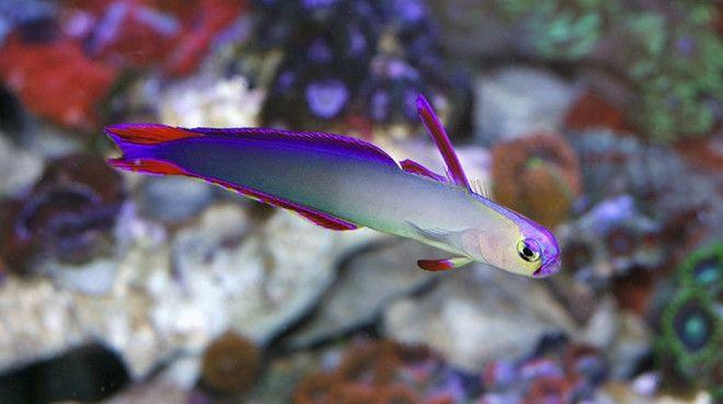 Purple Firefish Goby Saltwater Aquarium Fish Saltwater Aquarium Saltwater Aquarium Tanks