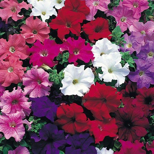 Pin By Marie Knapp On Tattoo Seasonal Flowering Plants Petunia Plant Petunias