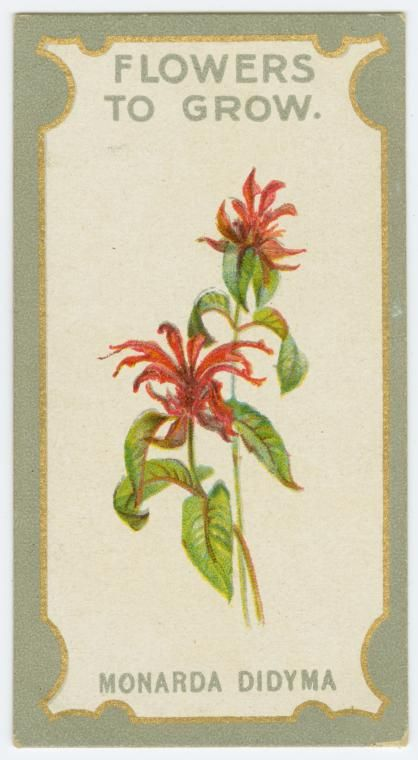 Monarda didyma (Bergamot). From New York Public Library Digital Collections.