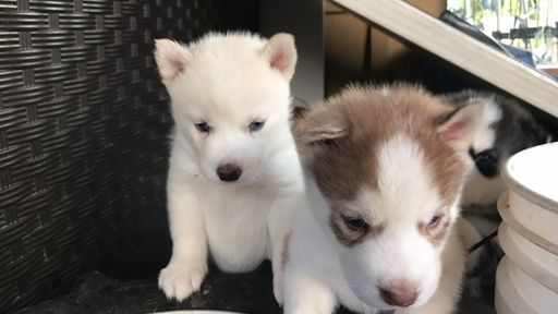 Litter Of 6 Siberian Husky Puppies For Sale In San Diego Ca Adn