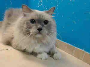 Zippy Is An Adoptable Ragdoll Cat In Brooklyn Ny Cute Animals Pet Finder Ragdoll Cat