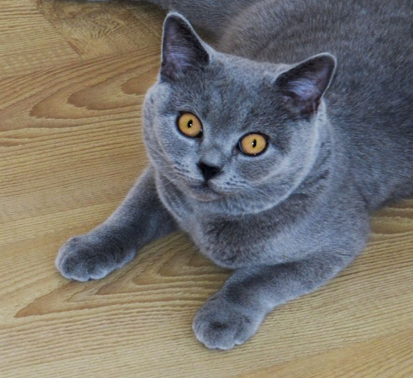 British Shorthair Blue Cat British Shorthair Cats British Blue Cat Cute Cats And Kittens