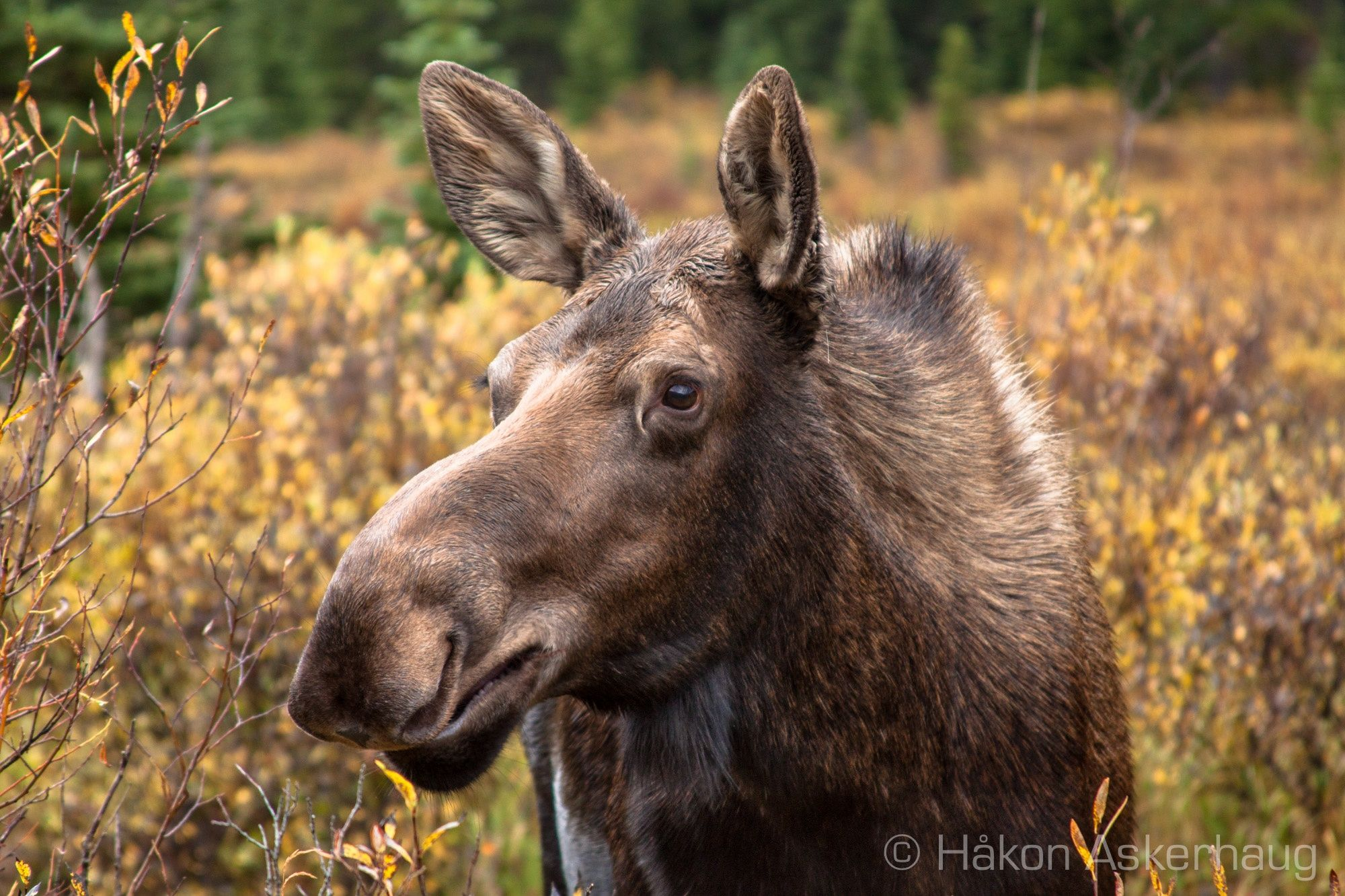 Moose! :)  Up Close and Personal by Håkon Askerhaug on 500px