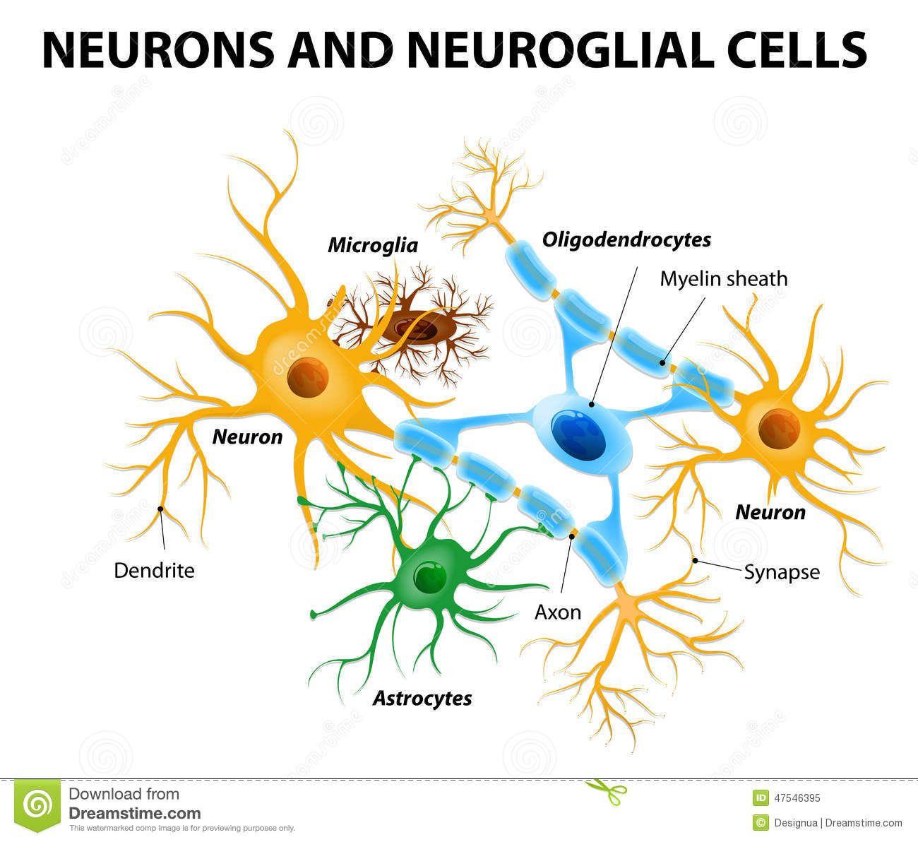glial-cells-brain-neurons-neuroglial-non-neuronal-there-different ...