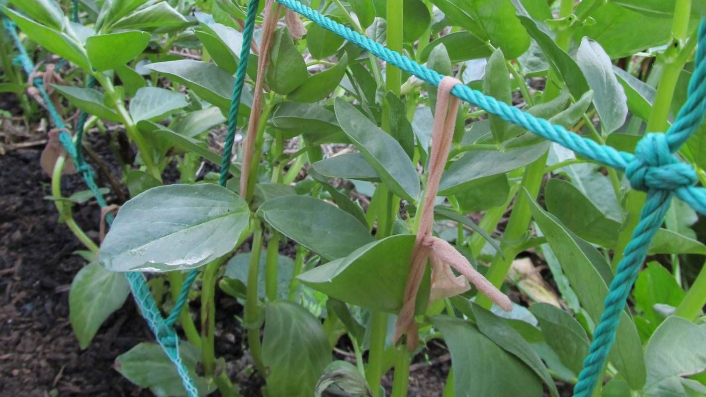 How To Plant Sow And Stake Broad Beans Over Winter Plants