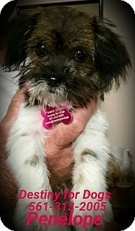 West Palm Beach Fl Shih Tzu Terrier Unknown Type Small Mix Meet Penelope A Puppy For Adoption Http West Palm Beach Florida Shih Tzu West Palm Beach
