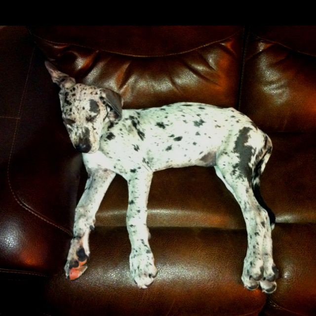 this dane puppy looks so much like our baby Amos right now