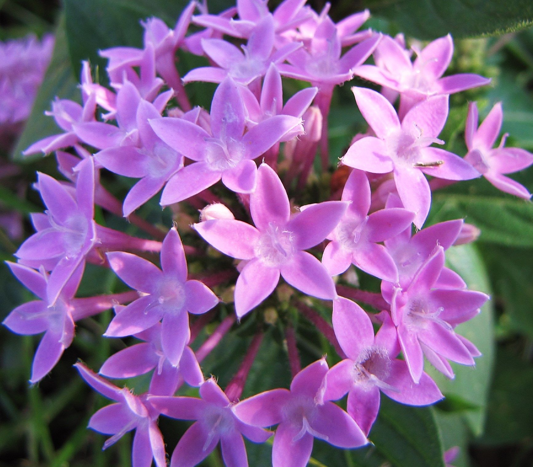Lt Purple Pentas Star Flowers Florida Flowersese Are All