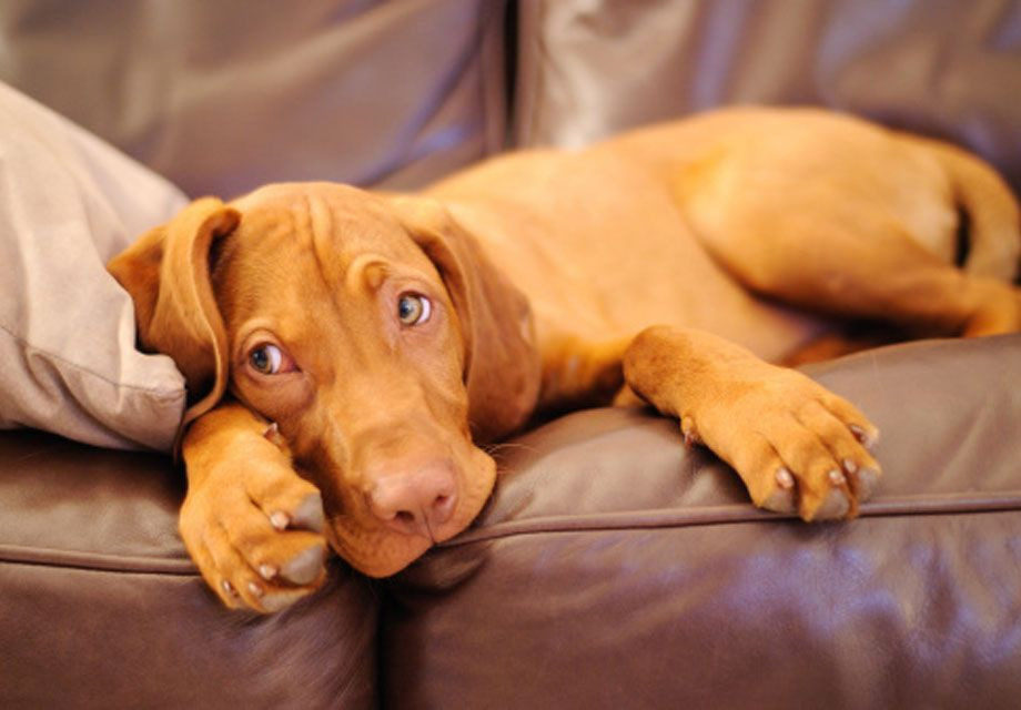 Find Vizsla Puppies And Breeders In Your Area And Helpful Vizsla Information All Vizsla Puppies Found Here Are From Akc Regi Vizsla Dogs Vizsla Puppies Vizsla