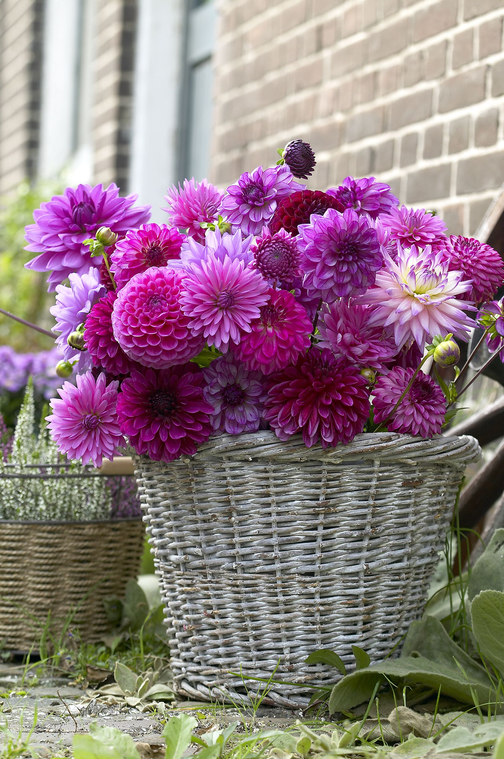 Different types of Dahlias, like Ball, Decorative, Dinnerplate, Pompon and Cactus, look great when paired together!