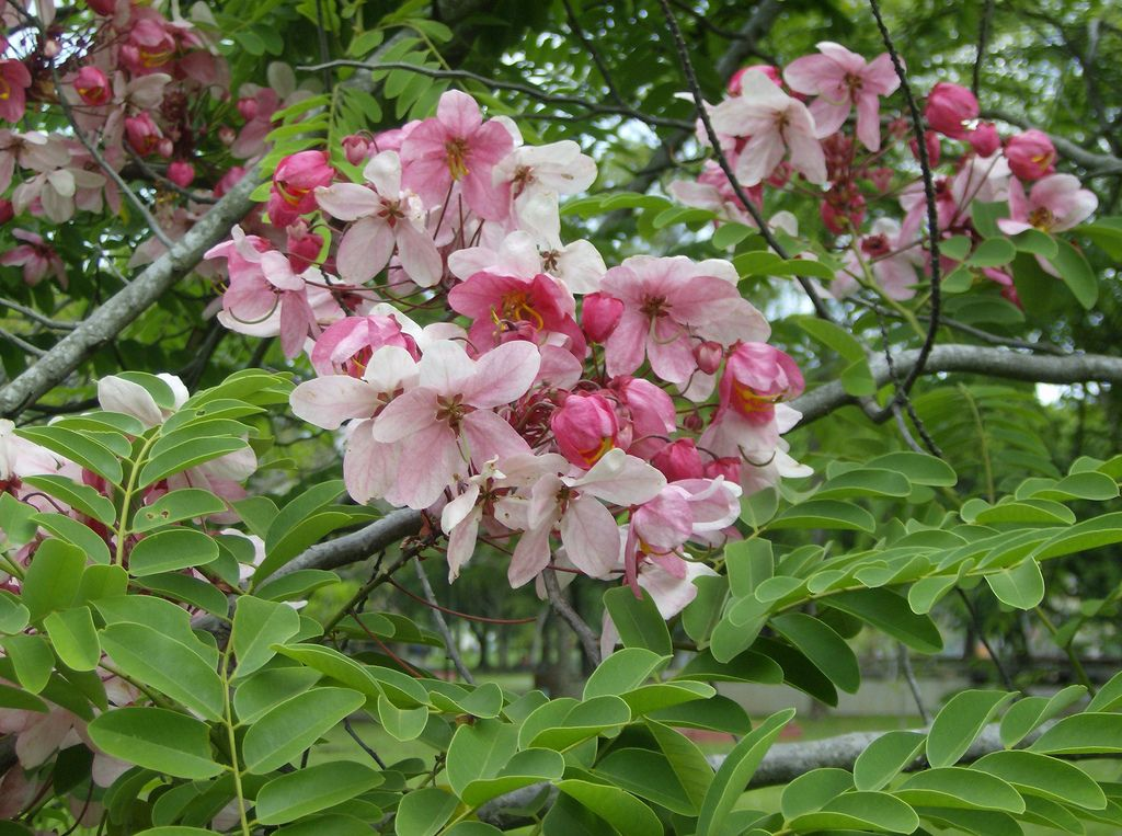 Cassia javanica plants casia rosada tree identificationflowering mightylinksfo