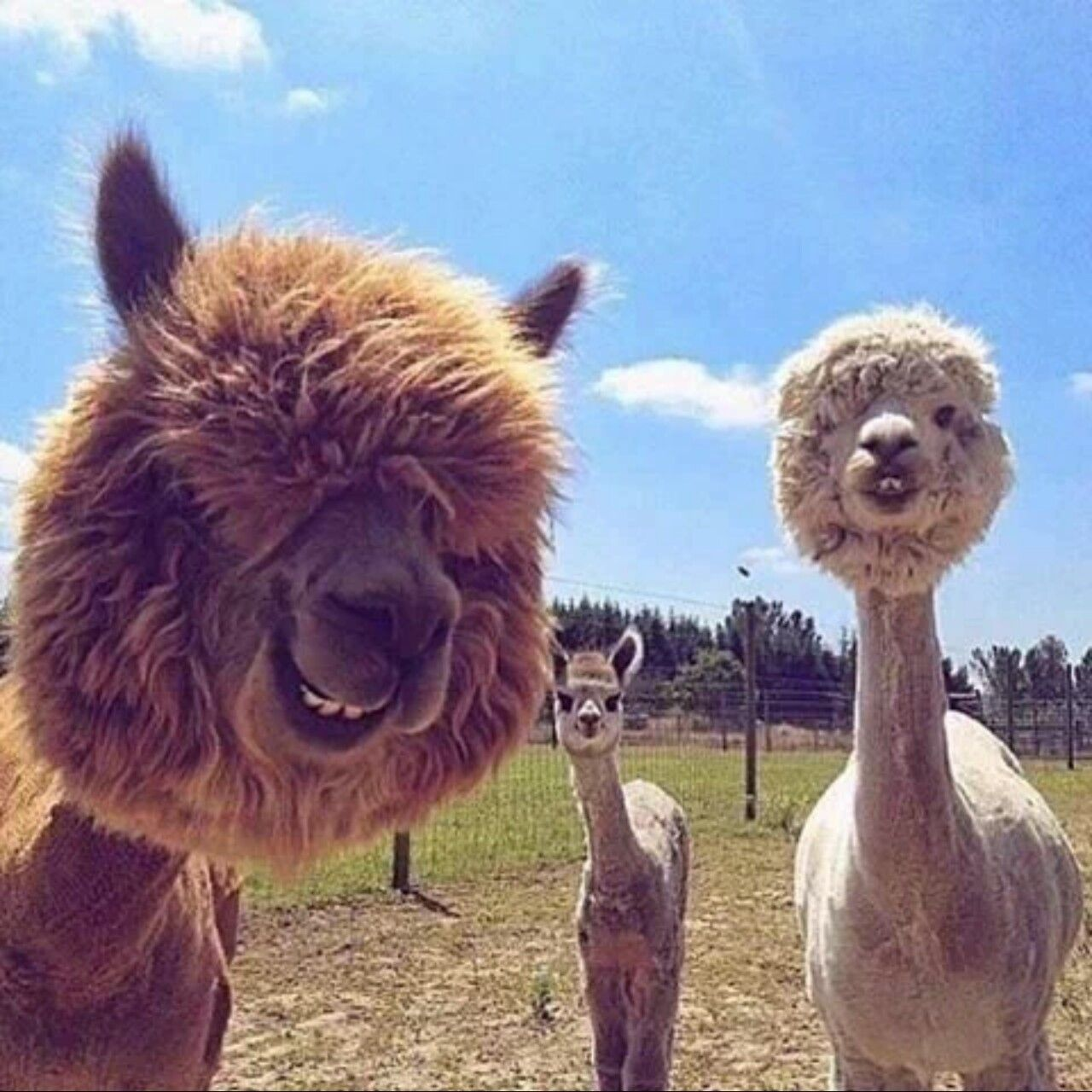 Omg This Is Too Funny Cute Animals Alpaca Funny Animal Memes