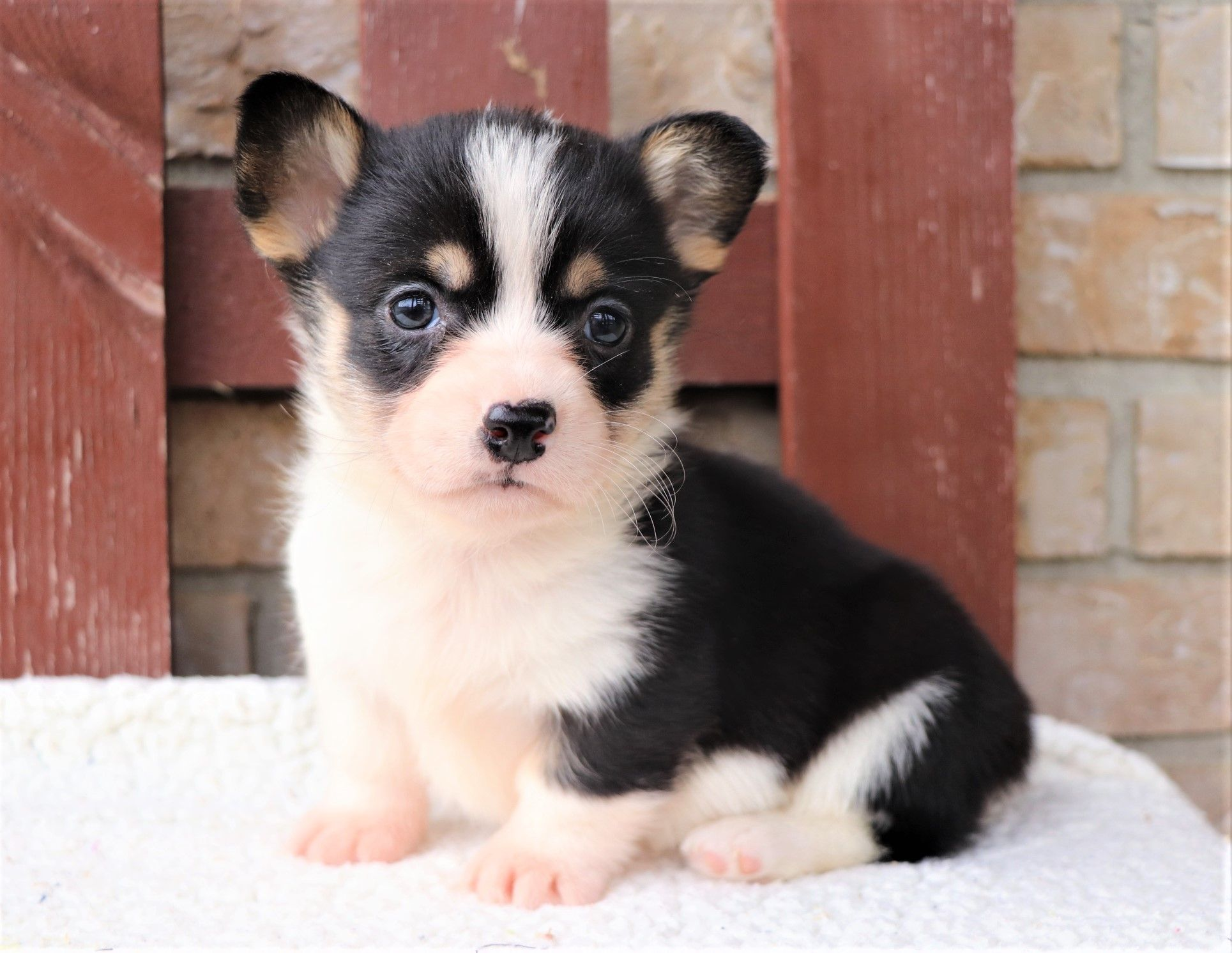 Adorable Welsh Corgi Puppy Corgi Puppies Welsh Corgi Puppies
