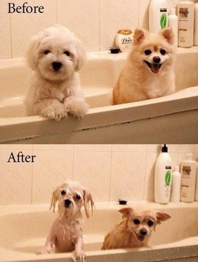 Before After Bath Not My Dog But This Could So Be My Maltese