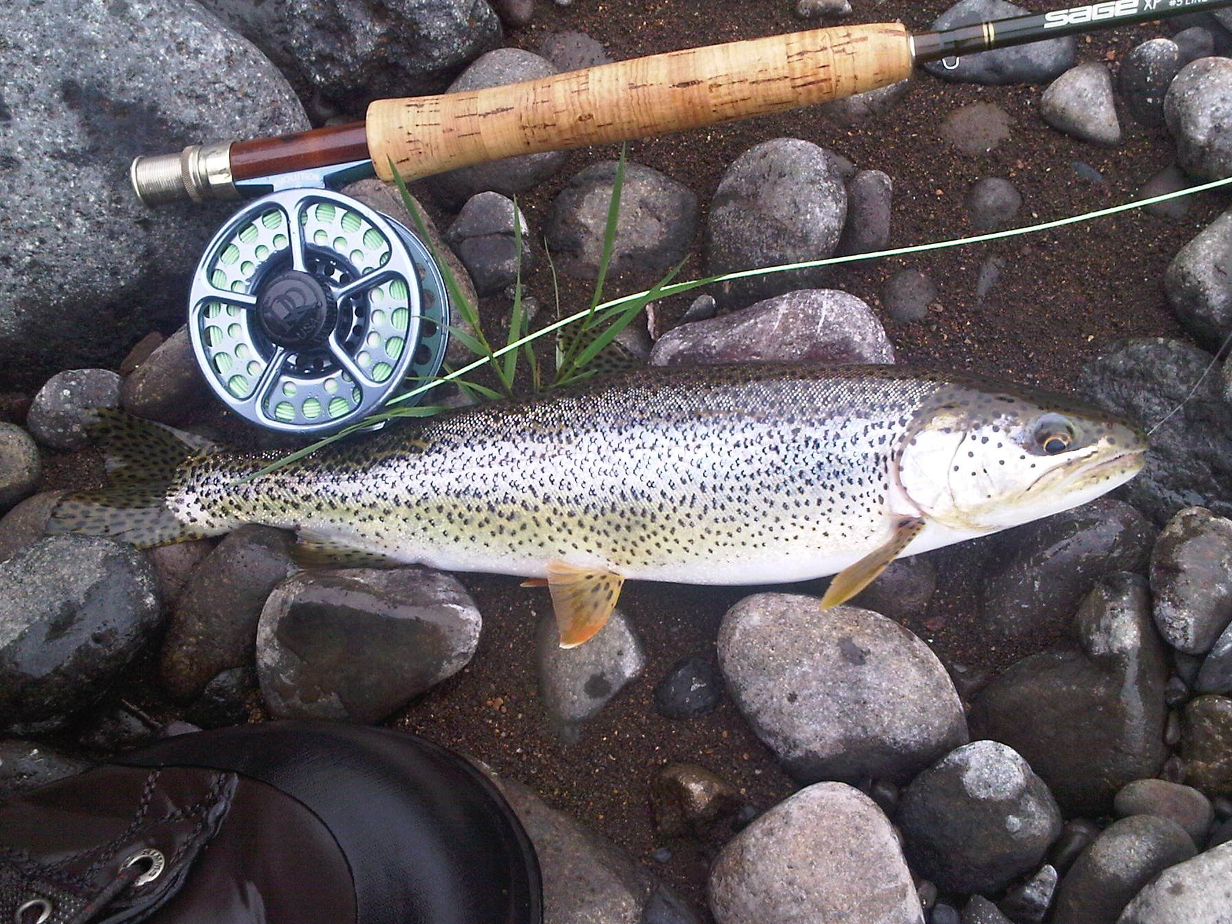 Nice Catch And Release Cutthroat Trout On The Wilson River Oregon 5wt 9 Sage Rod Ross Evolution Ii Reel Cutthroat Trout Trout Fish