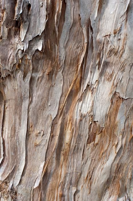 light brown gum tree bark texture free stock photo from